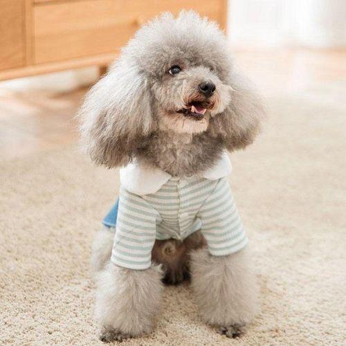 泰迪小狗喜欢漂亮的女生