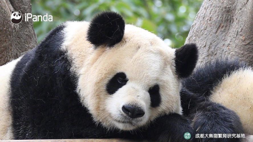 熊猫一刻##ipanda爱熊猫