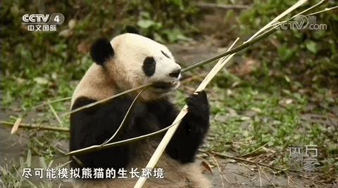壁纸 大熊猫 动物 480_268