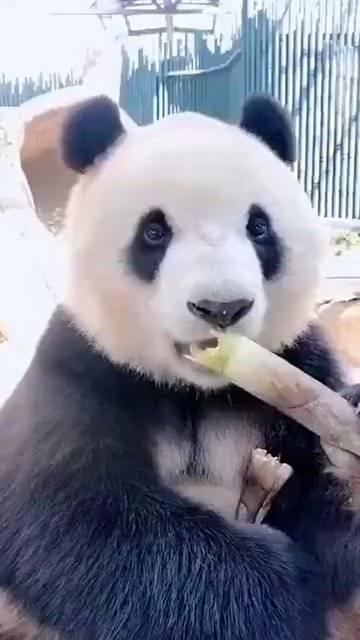 大熊猫吃竹子 咔嚓咔擦的声音减压效果 太可爱了 !