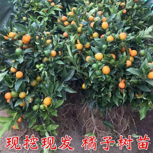 桔子树苗  特大砂糖桔子树苗 庭院盆栽橘子苗黄岩蜜桔 脆皮金桔树